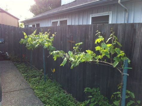 Backyard Grape Vine by Grow Table Grapes In Your Backyard