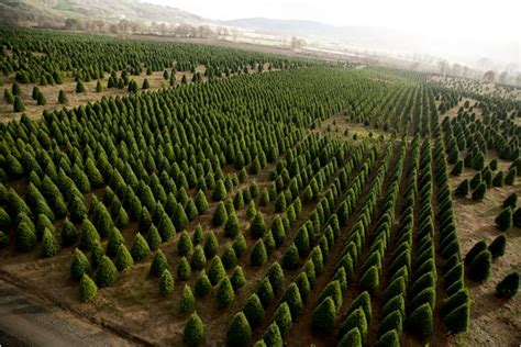 largest christmas tree farms harvesting trees slide show nytimes