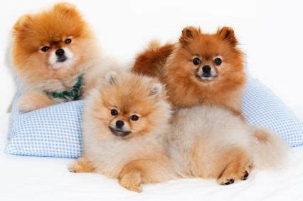 are pomeranians prone to seizures 1000 images about large loveable unique breads on