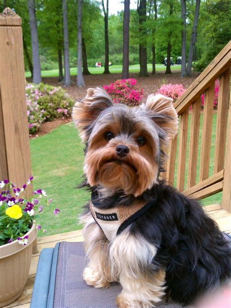 types of yorkies yorkie haircuts pictures summer cuts breeds picture