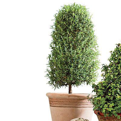 live rosemary topiary try a rosemary topiary