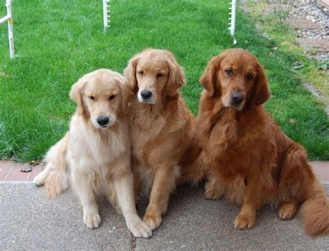 what color are golden retrievers 17 best ideas about golden retrievers on golden retrivier golden
