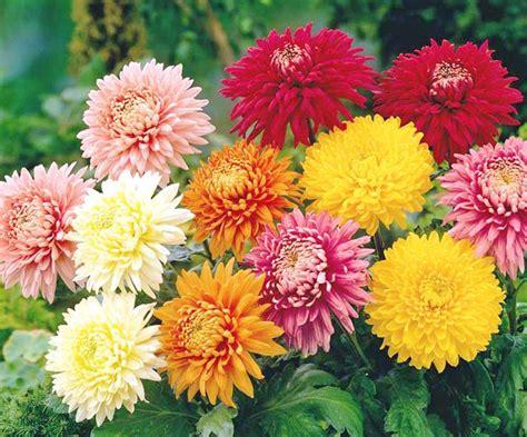 crisantemi fiori la bellezza emarginata dei crisantemi pausa caff 232