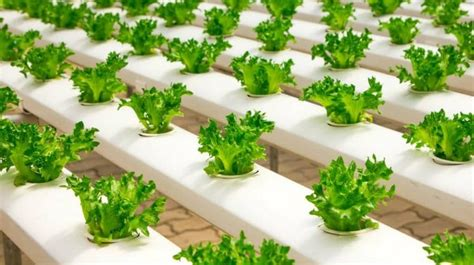 survival gardening   grow lettuce indoors