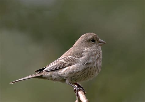 picture of house finch housefinchp