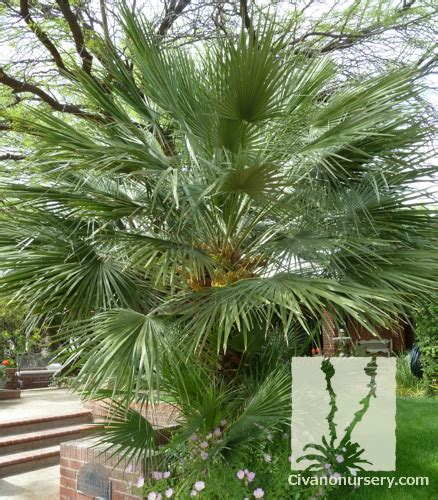 chamaerops humilis mediterranean fan palm mediterranean fan palm chamaerops humilis civano nursery
