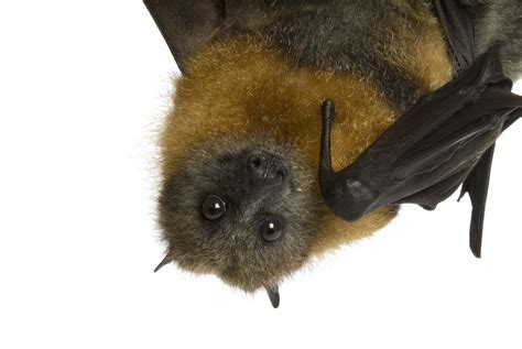 fruit bat fruit bat facts how to get rid of them pestwiki