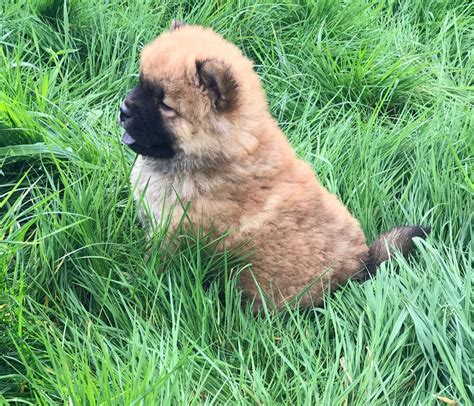 puppies for sale in philadelphia pa chow chow puppies for sale southwest philadelphia pa 195247