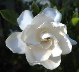 Gardenia Upkeep Learn How To Grow And Care For Gardenia Plants