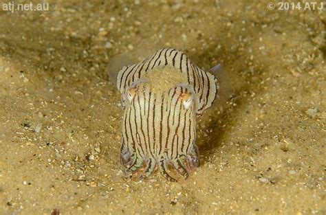 Sleepsuit Blue Stripe Octopus Turn Me Around dive at c cove watsons bay nsw on 12 september 2014 atj s diving site