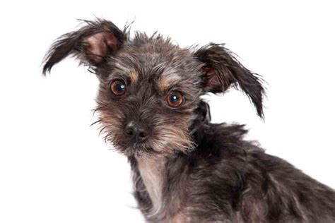 chihuahua terrier mix puppies chihuahua terrier mix a rundown from a to z ultimate home