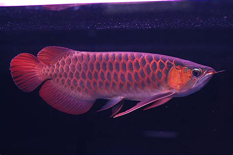Arwana Golden arowana fish animals wiki pictures stories