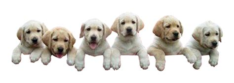 how to house a puppy in 7 days puppies climbing transparent image