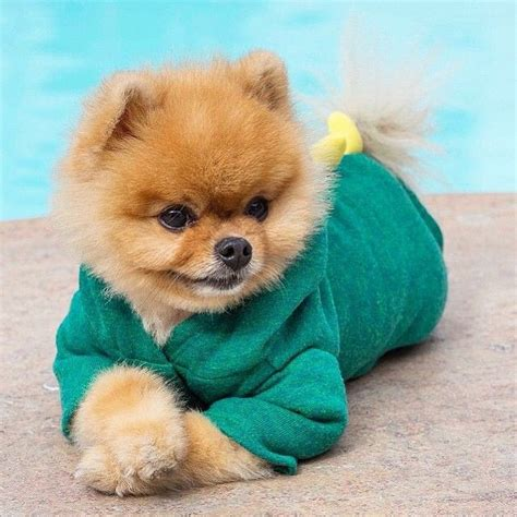 pomeranian jiffpom 86 best images about jiffpom on pomeranian puppy cutest dogs and instagram