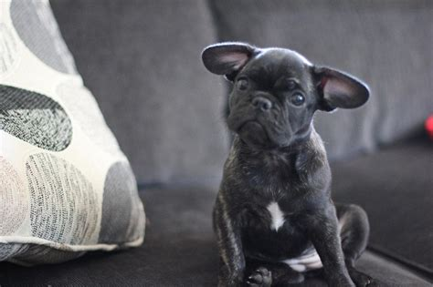 frenchie pug mix frenchie pug frug bulldog pug mix info puppies temperament