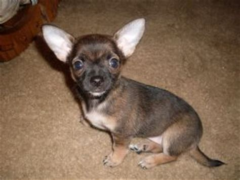 chihuahua puppies ohio chiweenie puppies for sale in ohio