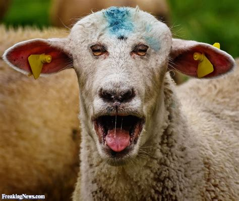 silly pictures sheep pictures freaking news
