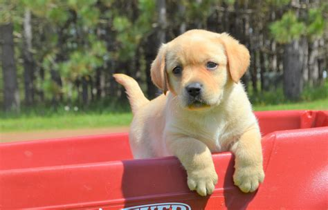 labrador puppies for sale in wi yellow lab puppies in wisconsin winter valley labs mlk