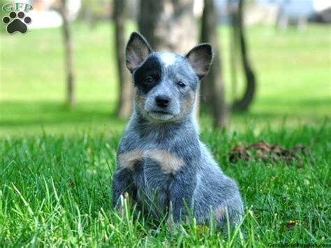 australian cattle for sale blue heeler australian cattle puppies for sale in pa