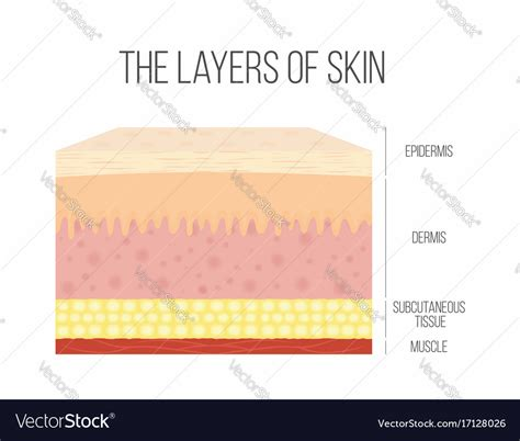 human skin stock images royalty free images vectors skin layers healthy normal human skin royalty free vector