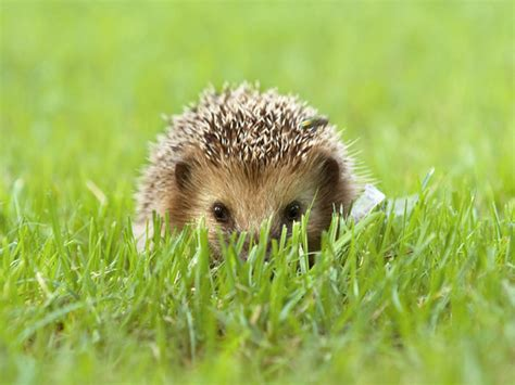 Pictures Of by Hedgehog Pictures Search