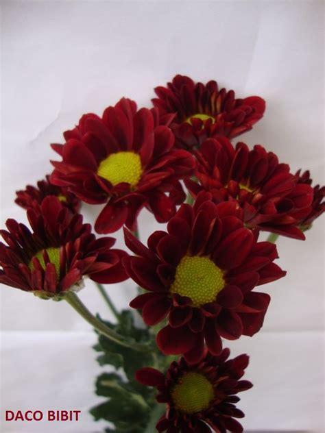 jual tanaman hias bunga krisan merah dacochi