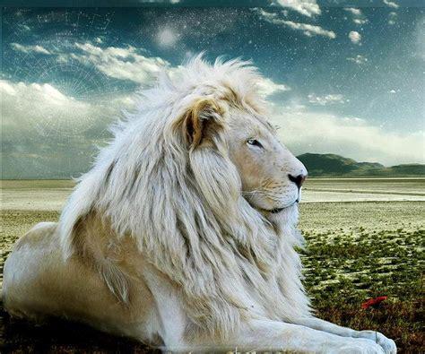 imagenes de leones albinos las fotos mas alucinantes leon albino