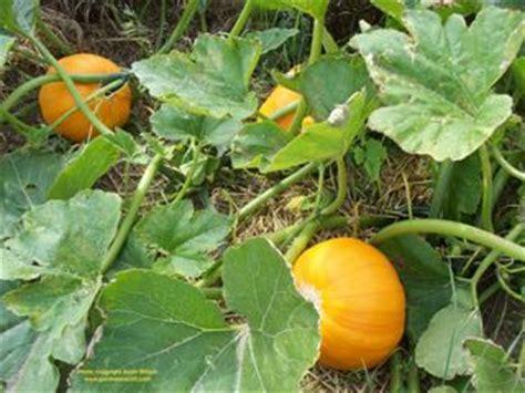 Harvesting Pumpkins   GardenerScott