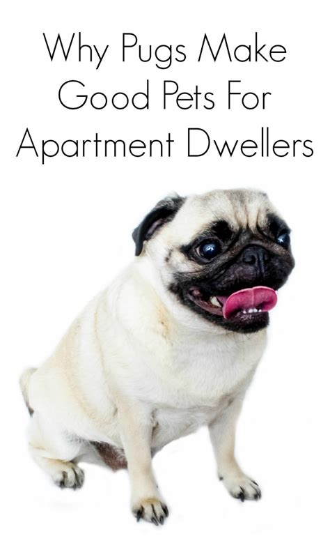 are pugs pets why pugs make apartment pets