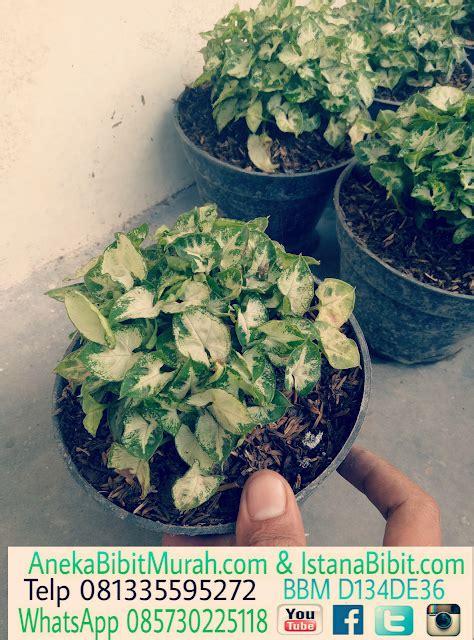 tanaman hias keladi mini harga murah jual bibit tanaman