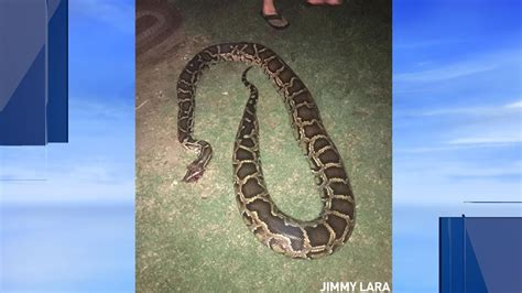 Found A Snake In Backyard by Family Says 13 Foot Snake Slithered Into Yard Katu