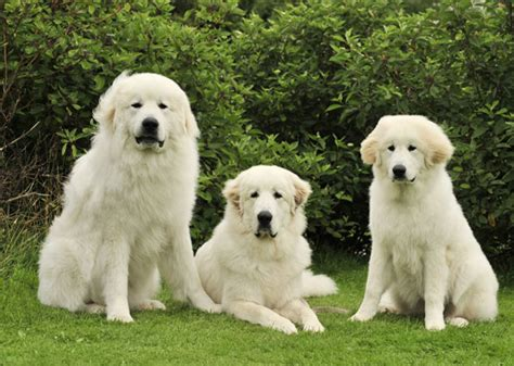Do Pyrenees Shed by 10 Dogs That Shed The Most