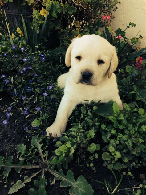 labrador puppies san diego labrador retriever golden retriever akc labrador pups breeds picture