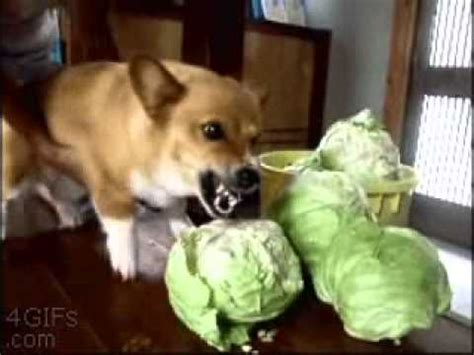 is cabbage for dogs animal moment hates cabbage