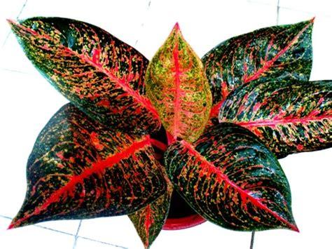 ciri ciri tanaman hias  harganya mahal
