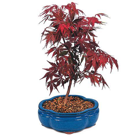 origami maple seed maple bonsai tree care