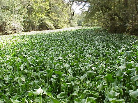 ethiopias lake tana threatened  hyacinth weed development channel