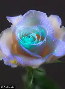 Climbing Rose Plants For Sale - glow your own flowers scientists create secret formula to make plants fluorescent daily mail