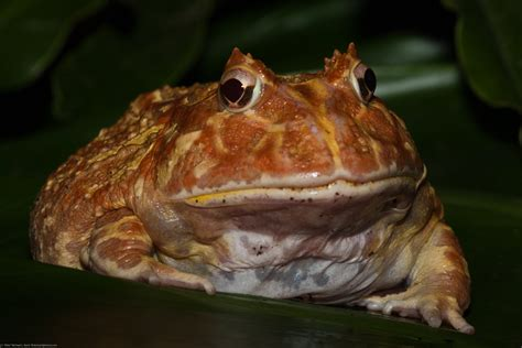 File:Pacman Frog, Argentine Wide-mouth Frog, Ceratophrys ...