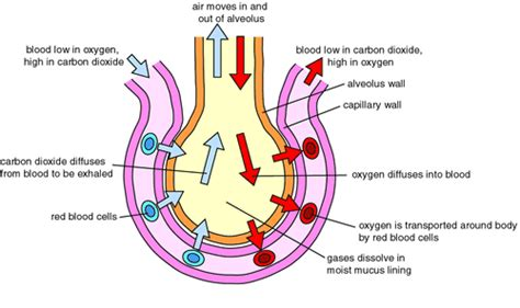 Gas Exchange Across Respiratory Surfaces Boundless Biology | gas exchange in alveoli 2path of airpptx anatomy