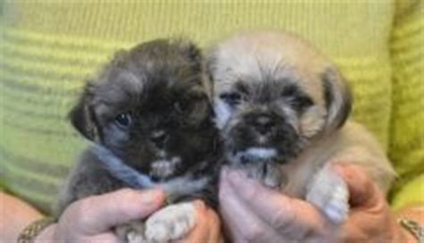 pugs for sale in scotland pug babies and ireland on