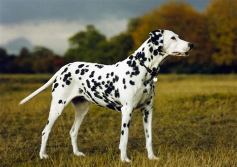 animal photography dalmatian dog stock images picture