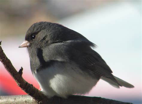 christine ferguson fine art birding in north eastern