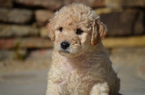 mini goldendoodle tn mini goldendoodles bestgoldendoodles goldendoodle