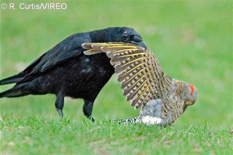 vireo bird photos images of birds worldwide