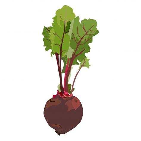 Beetroot Organik rote bete kostenloses stock bild domain pictures