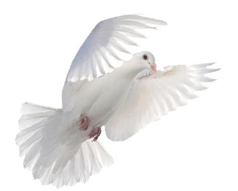 winged gifts of grace some birds spirited musings for s journey books flying white dove images dove flying gif pictures