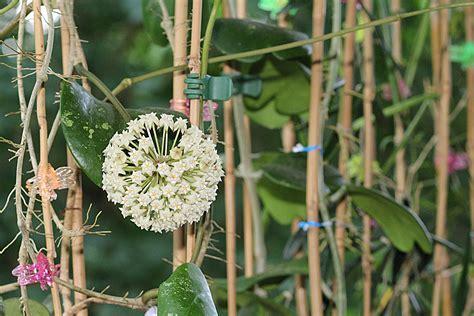 hoya housing evmb hoyas hoya latifolia
