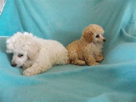 poodle puppies for sale poodle puppies for sale coleraine county londonderry pets4homes