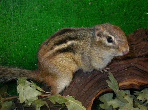 gabbia per scoiattoli giapponesi scoiattoli ewrite us